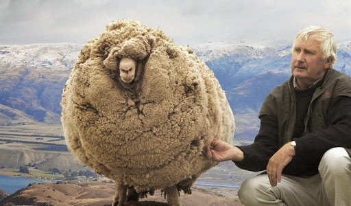 【閲覧注意】 オーストラリアの羊の毛刈り現場がひどすぎると話題に