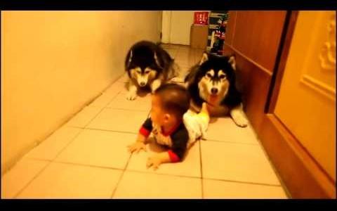 """赤ちゃんと2匹のハスキー犬が""""ハイハイ""""で追いかけっこ 勝負の行方は?【動画】"""