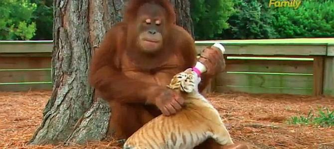 オスのオラウータンがトラの子3頭のパパ代わりに!! 哺乳瓶でミルクもあげちゃうシーンにほのぼのしちゃう件