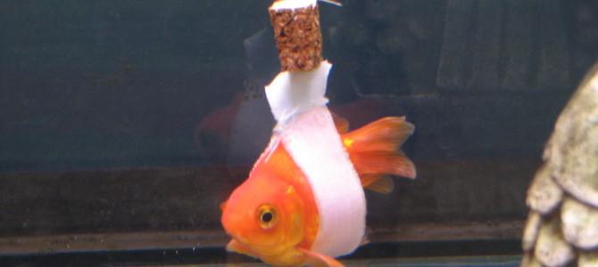 まっすぐ泳げない病気の金魚を救う「金魚の車イス」