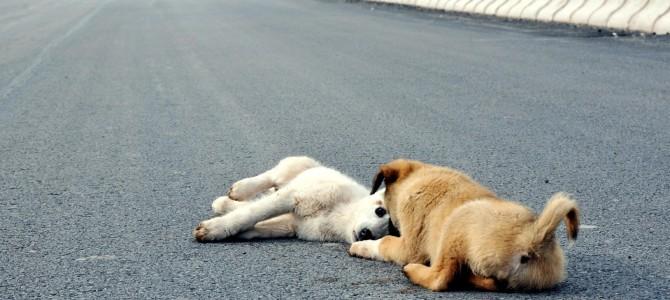 車に轢かれた小さな仔犬とその傍を離れないもう一匹の仔犬…犬達の友情に涙