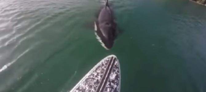 「海の殺し屋」シャチが追いかけてきてサーフボードに噛み付いてきた!!