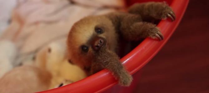 ナマケモノの赤ちゃん見たことある?