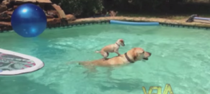 泳ぐお父さんの背中に乗って移動する子犬が話題に!!