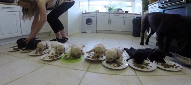 10匹のラブラドールの赤ちゃんの食事風景がかわい過ぎ!