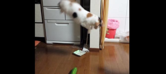 ただのキュウリにめちゃめちゃビックリする猫!!