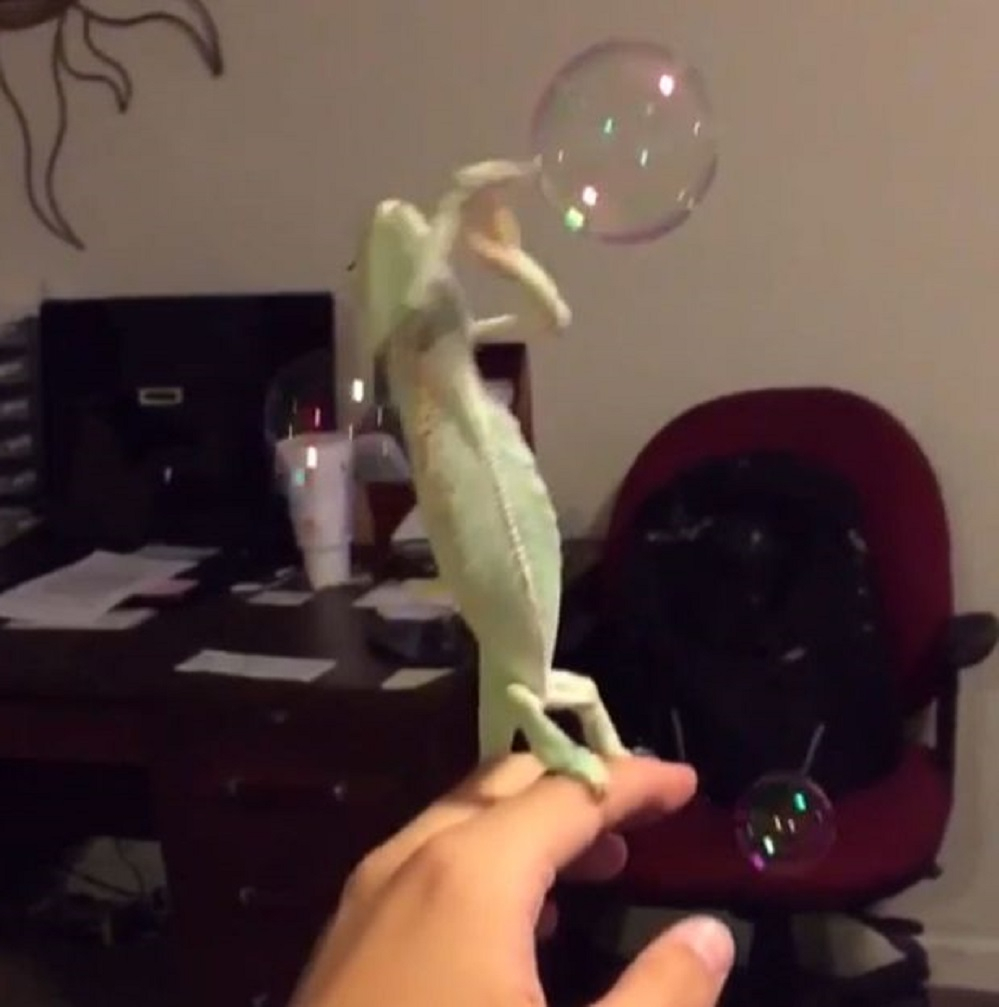 Chameleon-who-loves-to-pop-bubbles