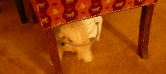 「安全に歩くためにどうすればいいか?」病気で失明してしまった犬のために飼い主が発明した「天使のリング」