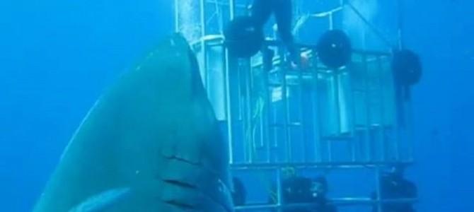 このサメいくらなんでもデカ過ぎ!生きている姿が撮影された中で史上最大のホホジロザメ!