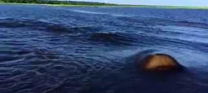 カバ泳ぐの速すぎ!あんなに遠くにいたのに、一瞬でこっち来た!