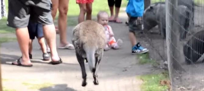 猛進するカンガルーの先には赤ちゃんが!「危ない」と思ったその時、カンガルーの取った予想外の行動!!