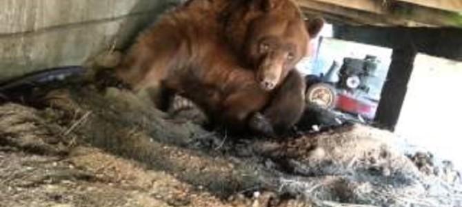 床下を見たら巨大なヒグマが!鼻息荒く威嚇してきて超怖い!