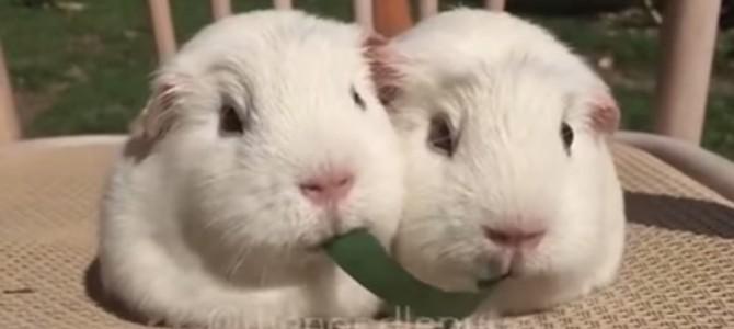 草を両端から食べる2匹のモルちゃん姉妹。この後可愛すぎる結末!?