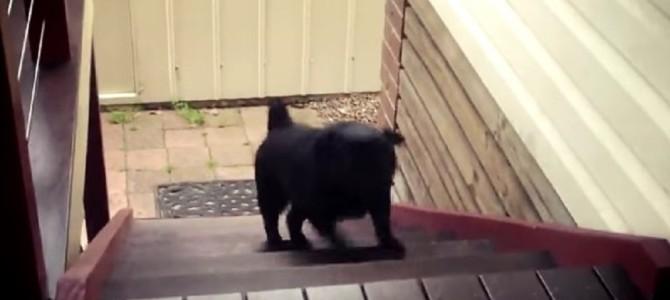 階段の登り方が面白すぎる犬♡