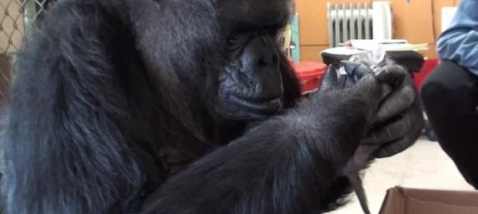 手話のできる奇跡のゴリラ「ココ」。44歳の誕生日に2匹の子猫をプレゼントされる!