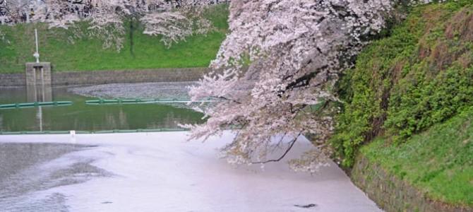 桜は散り際も美しい。。一面をピンク色に染める花びら。