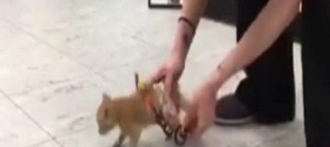 歩けない子猫が初めての車いすに大喜びで大爆走!