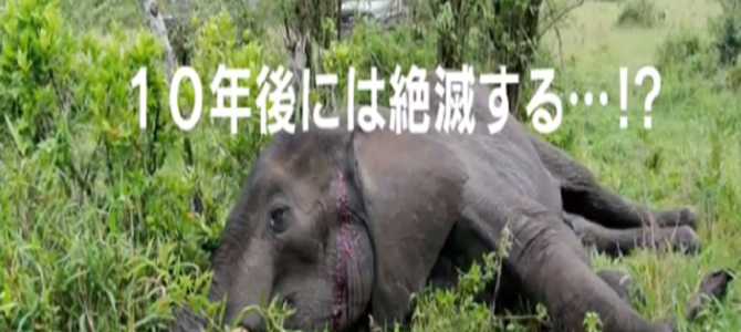 15分毎に1頭が殺されているアフリカゾウ